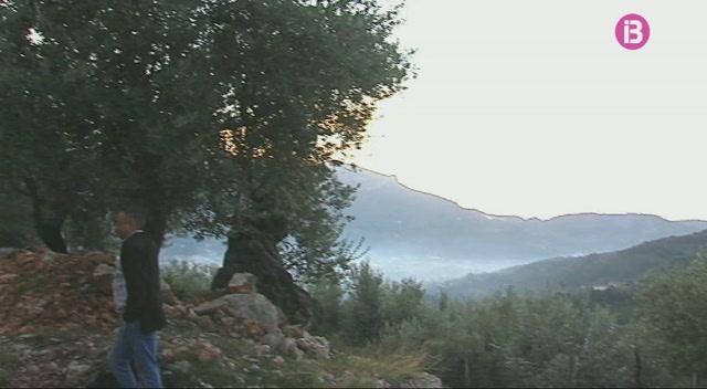 La+Xilella+fastidiosa+amena%C3%A7a+les+oliveres