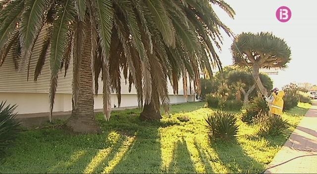 Continua+la+lluita+contra+el+becut+vermell+a+les+palmeres+de+Menorca