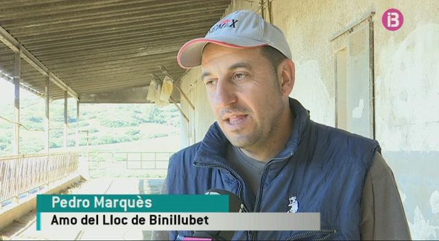 R%C3%A8cord+de+candidates+a+millor+vaca+frisona+de+Menorca