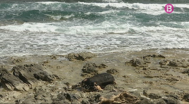 Apareixen+una+balena+i+una+vaca+mortes+a+una+platja+d%27Eivissa