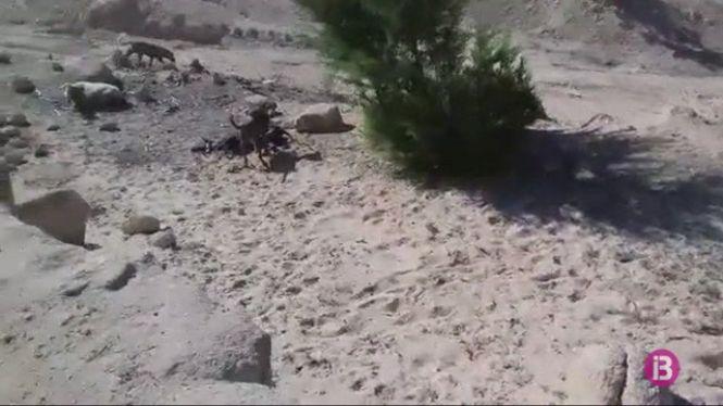 Un+ramader+denuncia+l%27atac+mortal+de+cans+a+les+seves+ovelles+a+Formentera