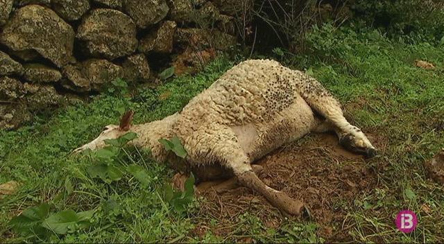 Cinc+cans+maten+vuit+ovelles+a+Inca