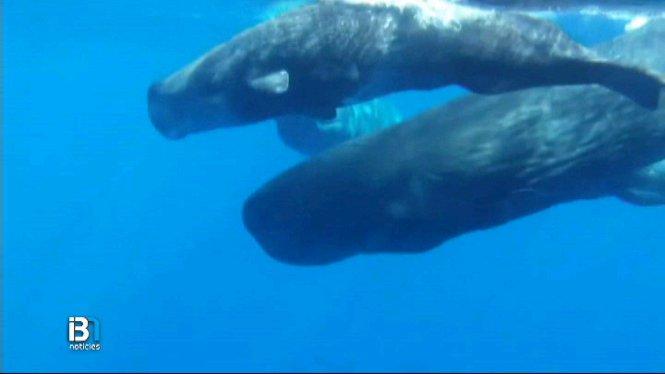 L%27associaci%C3%B3+Tursiops+llan%C3%A7a+una+iniciativa+per+protegir+els+cetacis+de+la+mar+balear