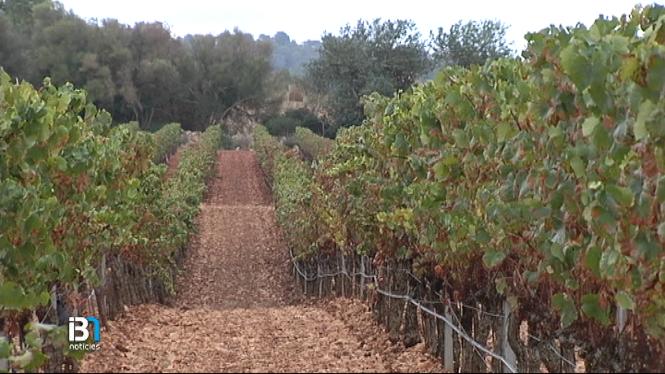 El+mosquit+verd+enguany+ha+afectat+greument+les+vinyes+de+Mallorca