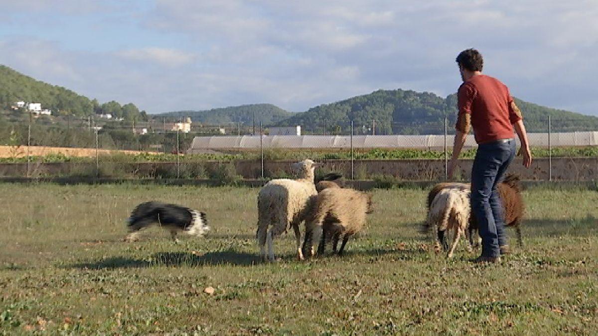 Convidat+a+Eivissa+el+campi%C3%B3+d%27Espanya+de+pastoreig+amb+cans
