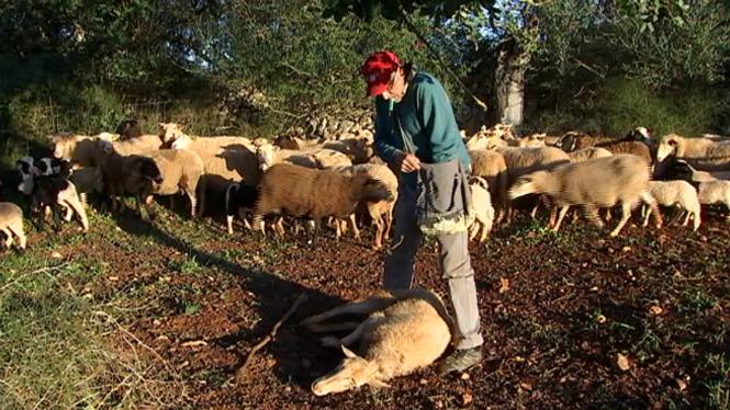 Nou+atac+de+cans+a+una+guarda+a+Felanitx+on+han+mort+40+bens+i+8+ovelles
