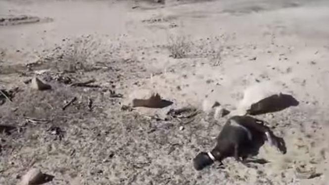 Els+ramaders+formenterencs+perden+una+vintena+dels+seus+exemplars+pels+atacs+de+cans