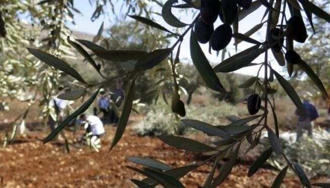 El+cultiu+de+l%27olivera+creix+un+20%25+a+Menorca