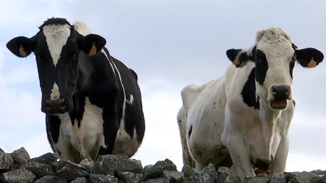 Alimentar+als+animals+suposa+m%C3%A9s+de+la+meitat+del+cost+d%27explotaci%C3%B3+d%27una+finca+a+Menorca