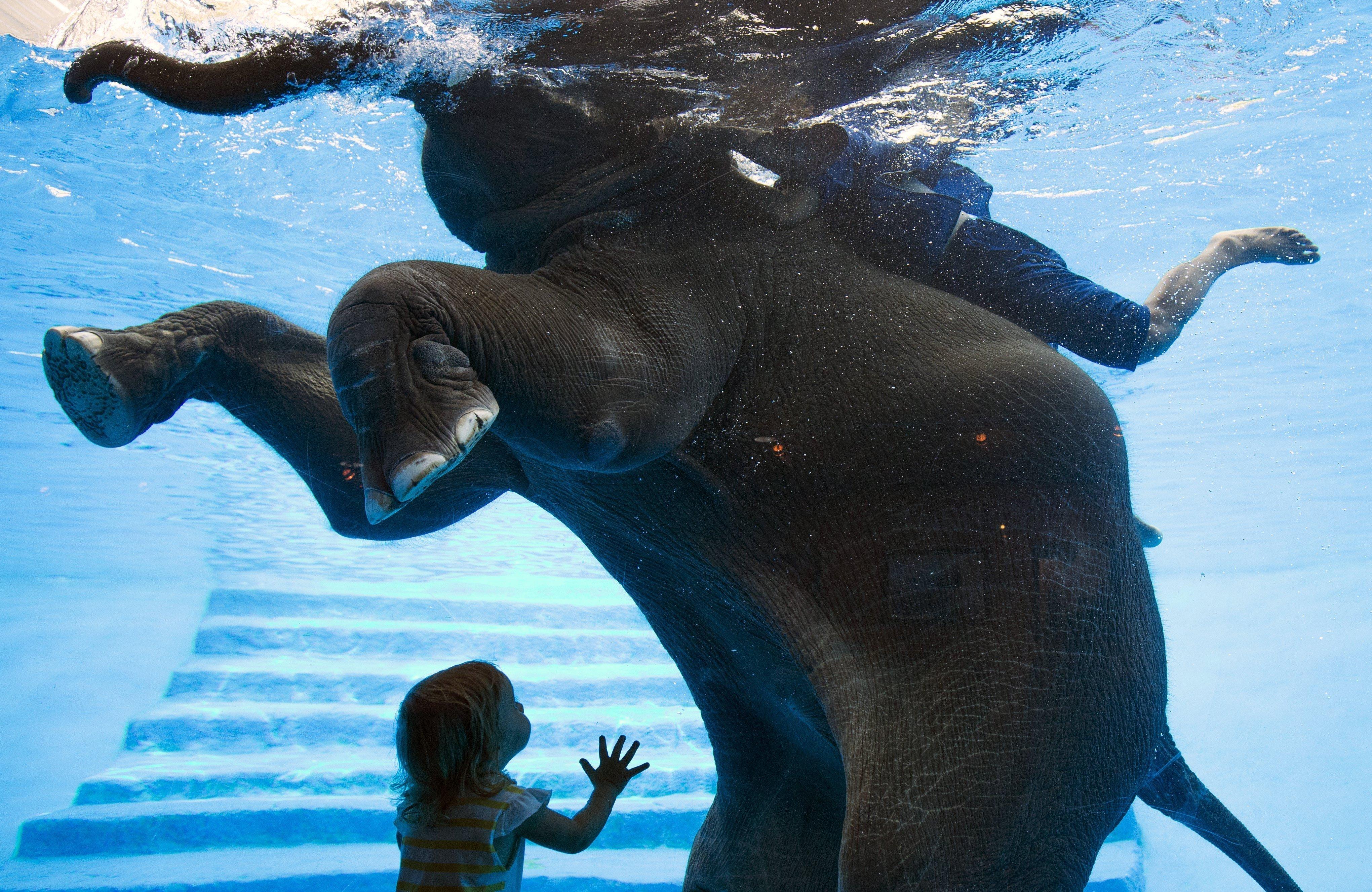 Un nen observa a l'elefanta Saen Dao mentre neda en una piscina durant un espectacle en el zoo de Khao Kheow a Chonburi, Tailàndia. /RUNGROJ YONGRIT