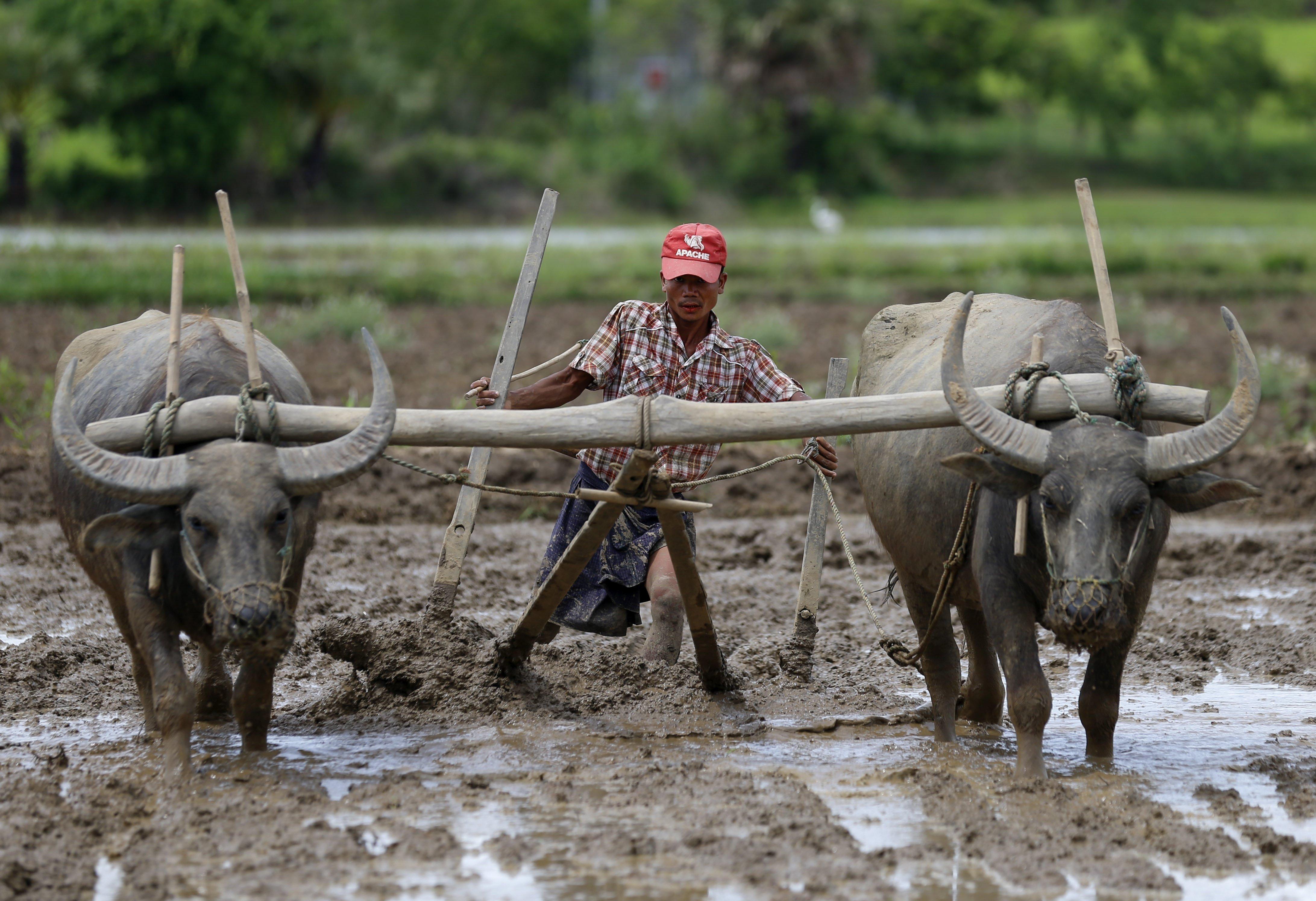 Un agricultor birmà llaura la terra ajudat pels seus búfals per preparar el terreny abans de conrear arròs de cara a la temporada de pluges a Naipyidó, Birmània./Lynn Bo Bo