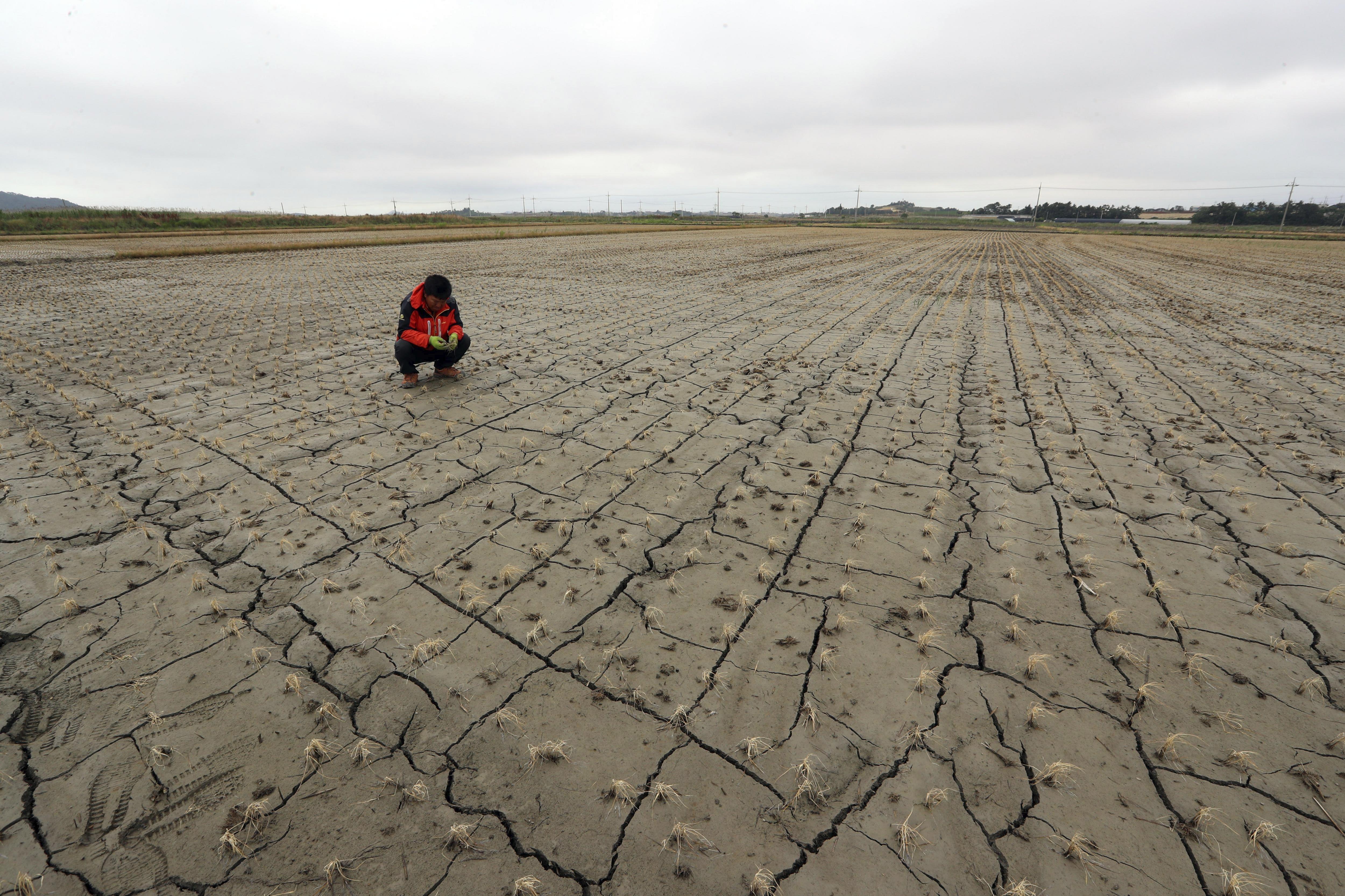 Un agricultor observa les seves plantes d'arròs marcides a causa de la sequera que des de fa un mes afecta la localitat de Muan, a 385 quilòmetres al sud de Seül, Corea del Sud./Yonhap
