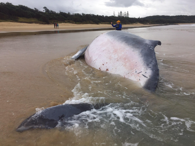 50 persones intenten salvar una balena geperuda subadulta a Sawtell Beach, a l'est d'Austràlia. L'espècimen pesa fins a 20 tones i les possibilitats de supervivència s'estan esvaint./NSW OFFICE OF ENVIRONMENT AND HERITAGE