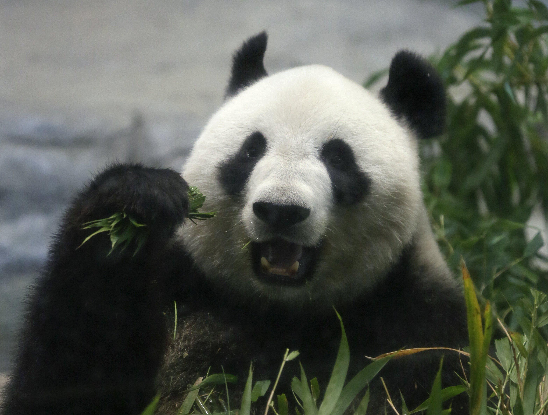 La femella de panda gegant Shin Shin ha donat a llum un cadell per primera vegada en cinc anys, al parc zoològic de Ueno a Tòquio, Japó./Kimimasa Mayama