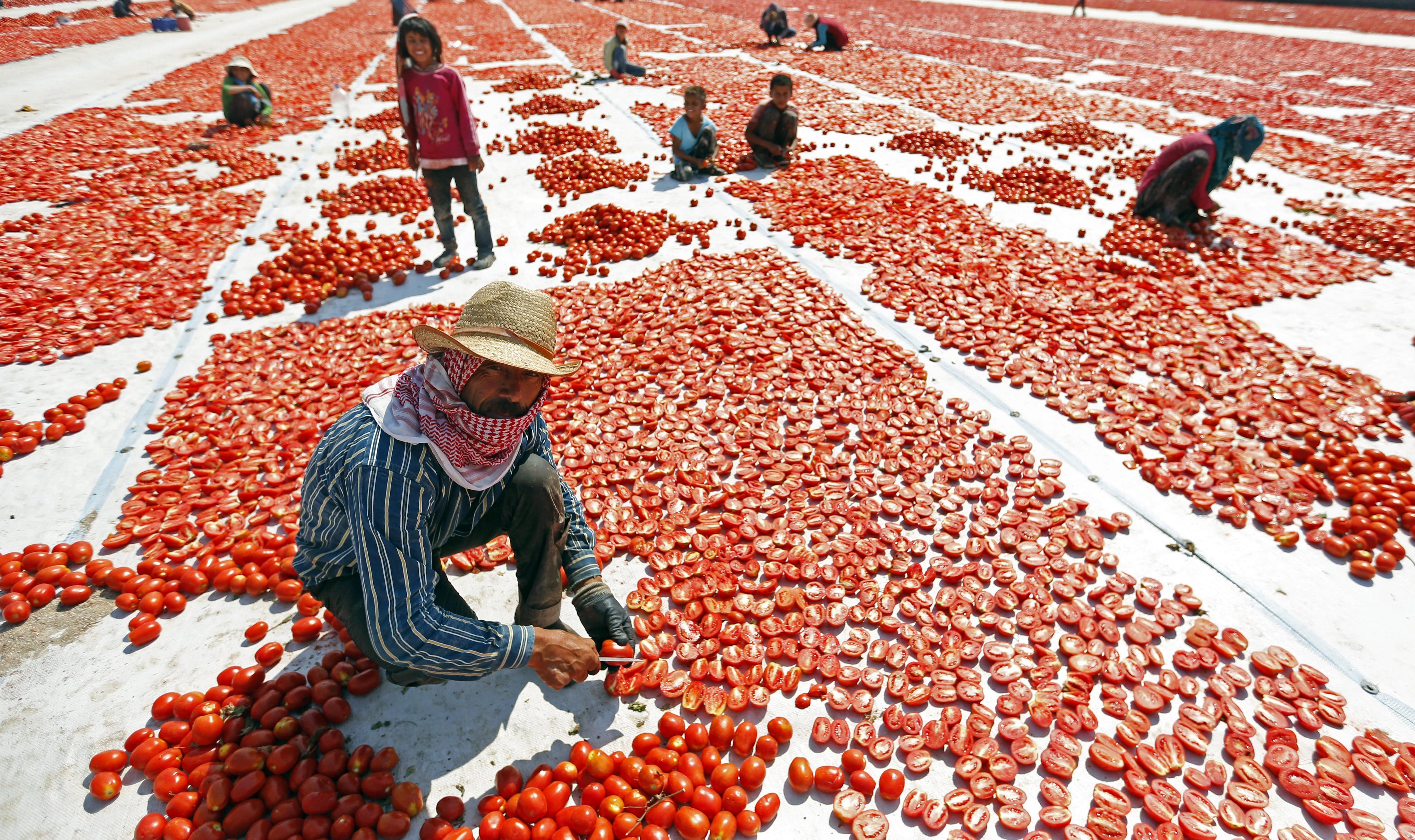 Diversos treballadors tallen tomàquets per assecar-los al sol a Esmirna, Turquia. /ERDEM SAHIN