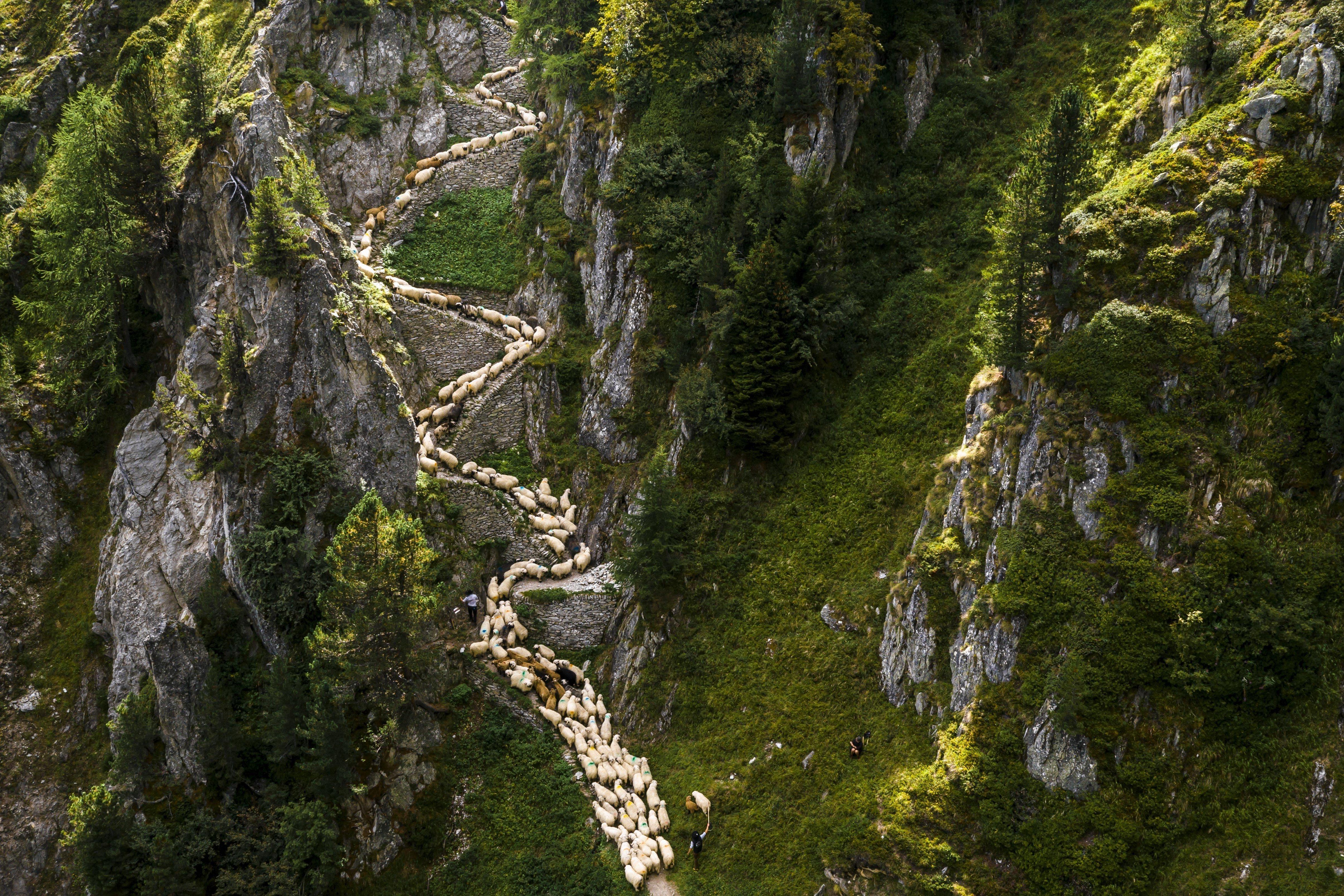 Imatge presa amb un dron d'un ramat d'ovelles alpines mentre es dirigeixen a Belap, prop de Blatten (Suïssa). /VALENTIN FLAURAUD