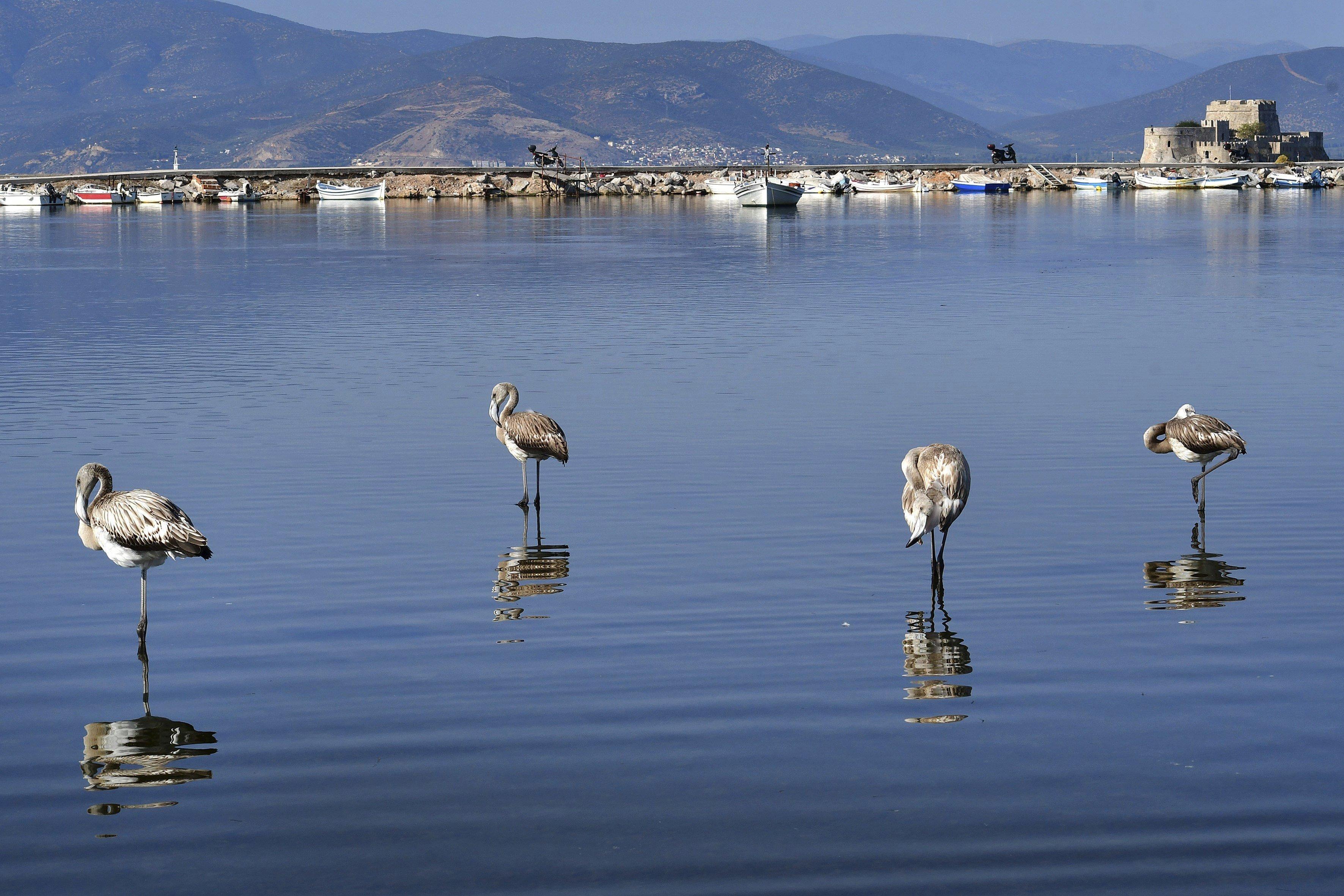 Flamencs descansen en aigües de Nafplio abans de migrar a terres més càlides (Grècia). /BOUGIOTIS VANGELIS