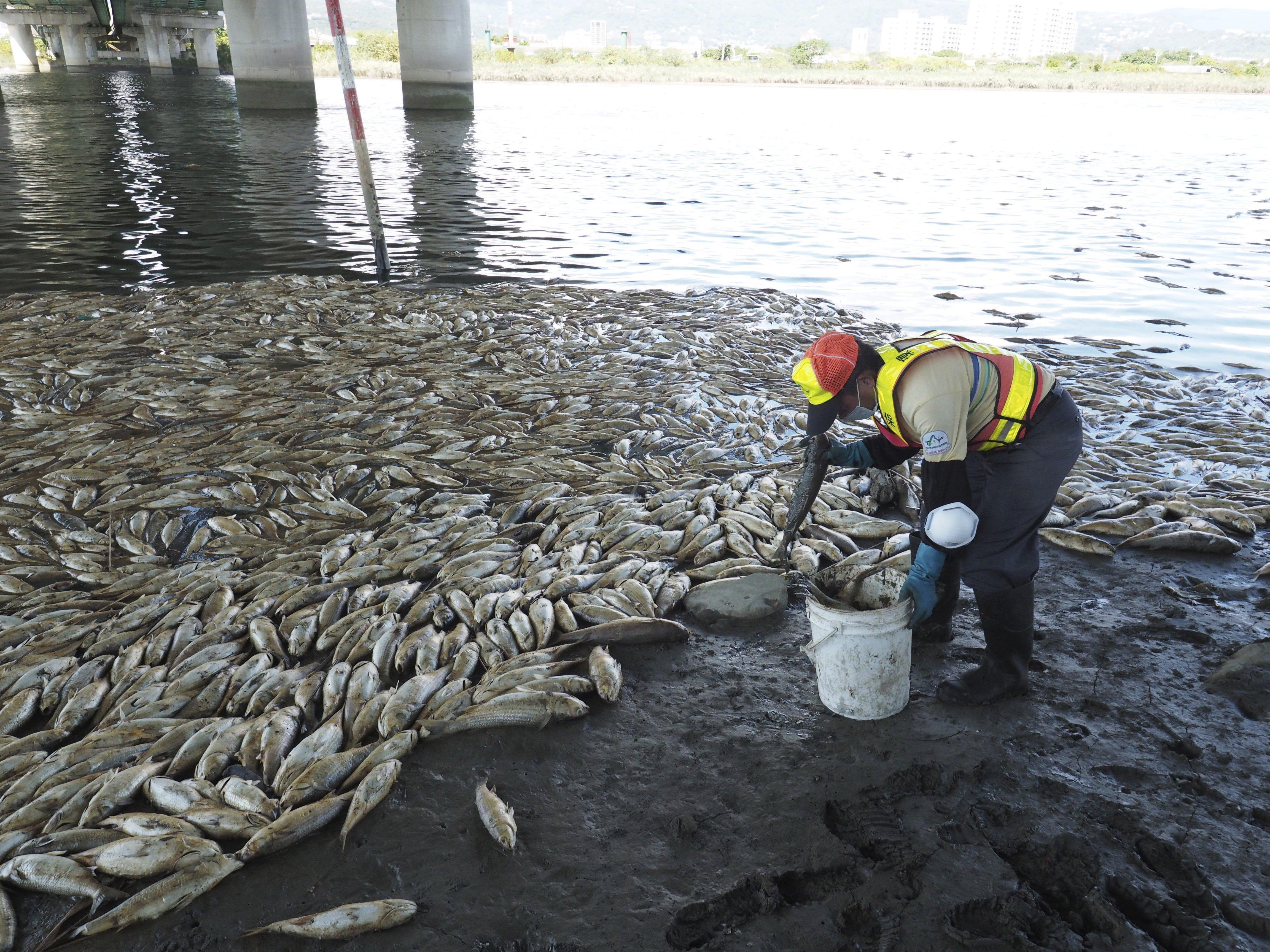 Una onada de calor a Taiwan mata a milers de peixos en el riu Keelung. /DAVID CHANG