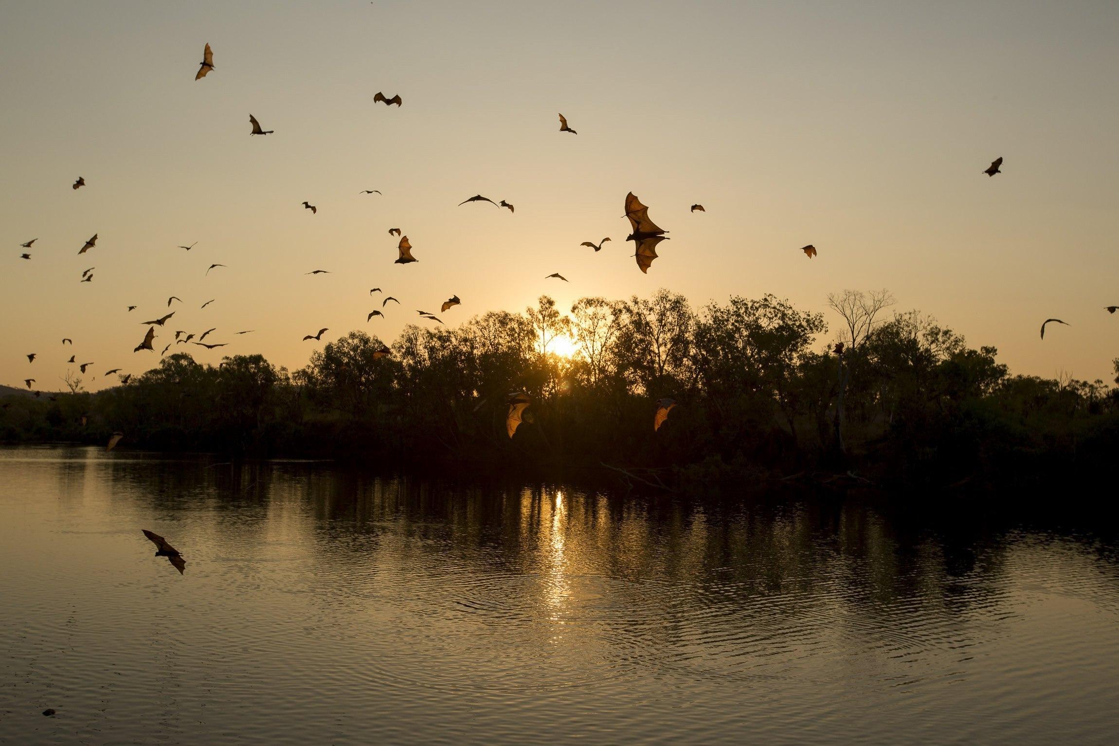 Una colònia de ratapinyades d'ala gran sobrevola el Parc Nacional de Nitmiluk, Austràlia. /GLENN CAMPBELL