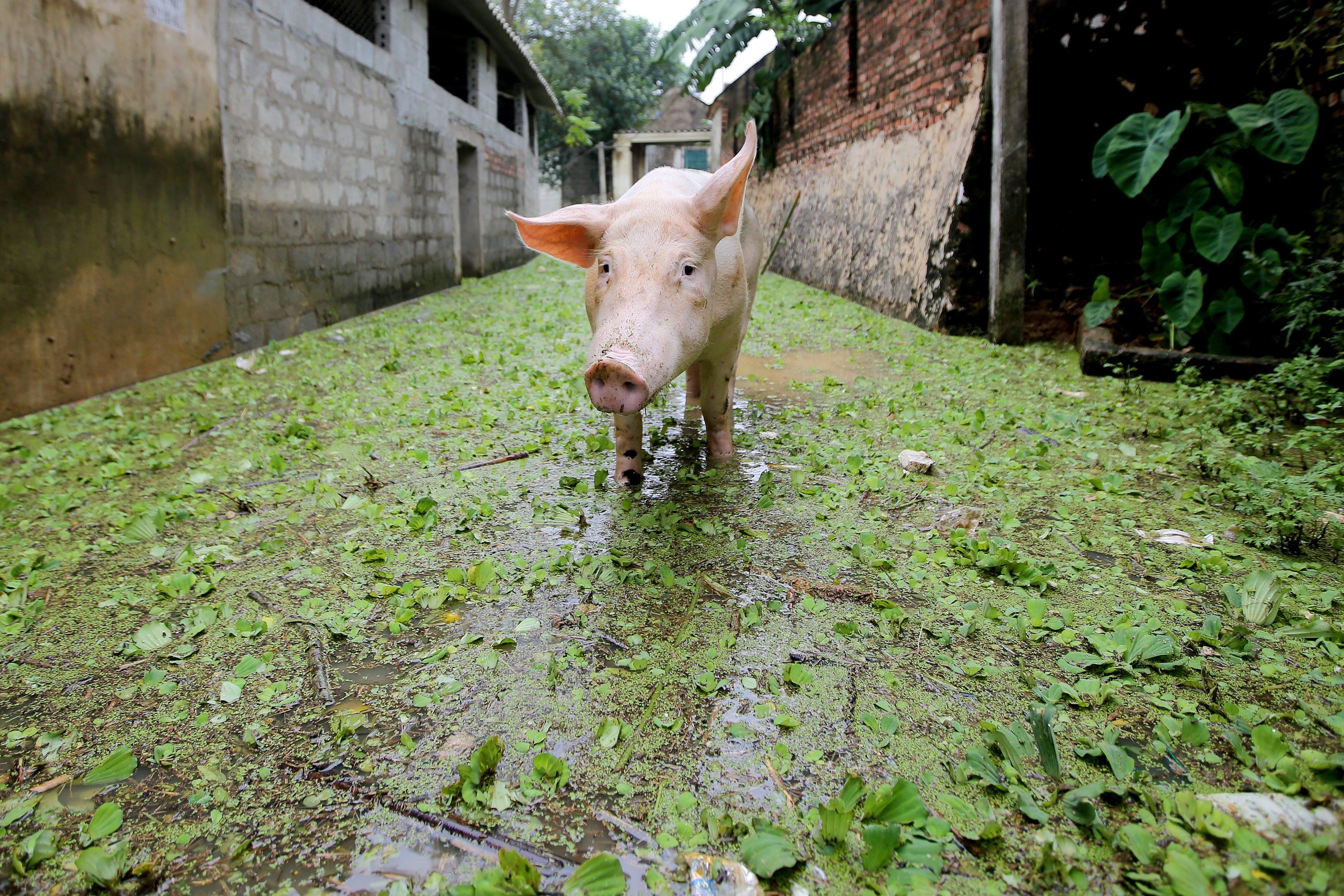 Un porc cerca menjar en un carreró inundat de Vietnam. /LUONG THAI LINH