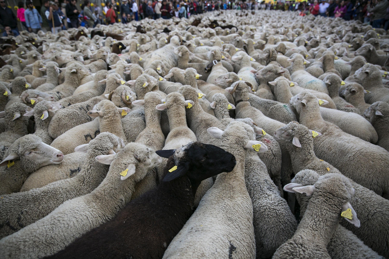 Un ramat d'ovelles travessa els carrers del centre de Madrid amb motiu de la Festa de la Transhumància. /SANTI DONAIRE