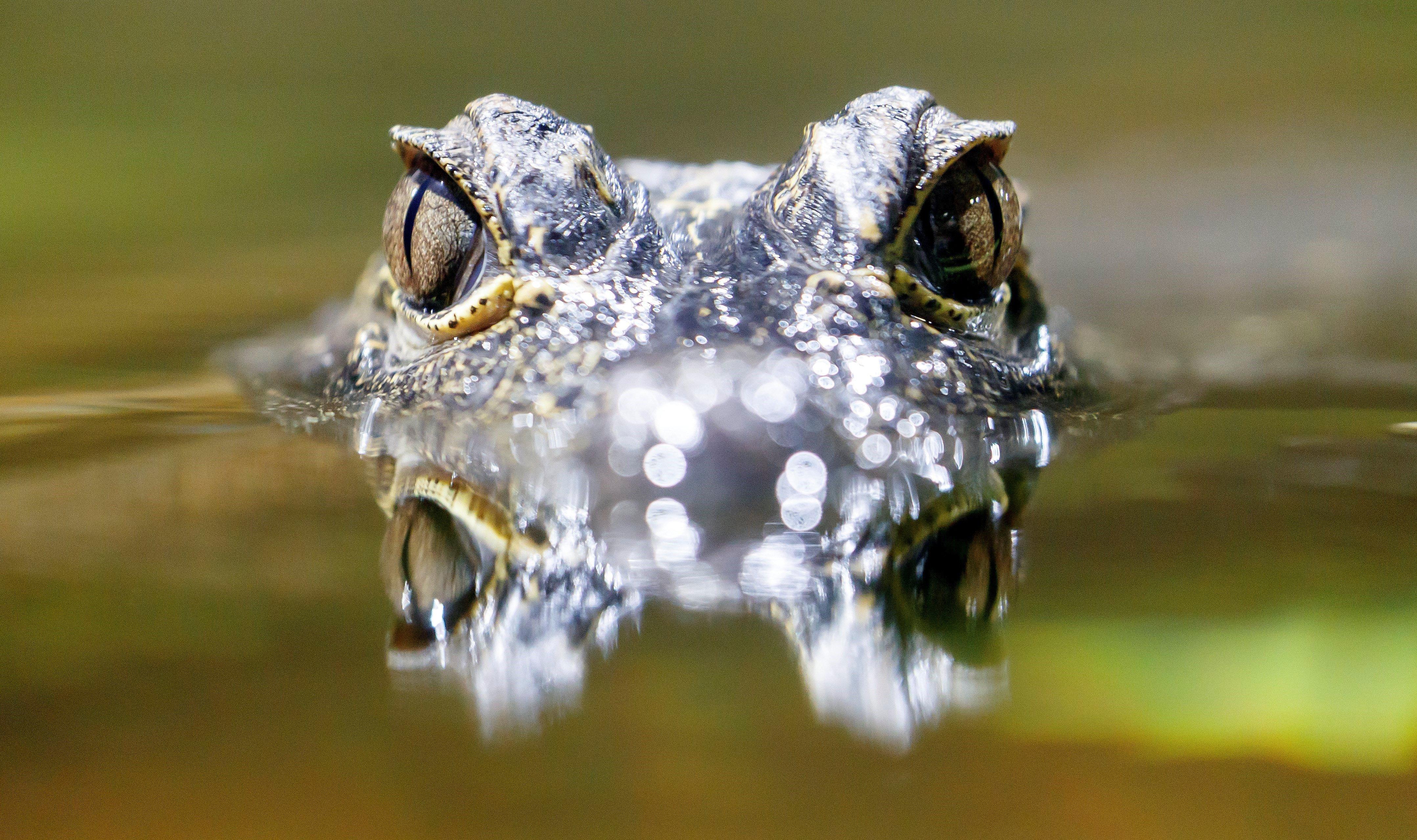 Un cocodril 'Osteolaemus tetraspis' surt de l'aigua en el zoo de Karlsruhe (Alemanya). /RONALD WITTEK