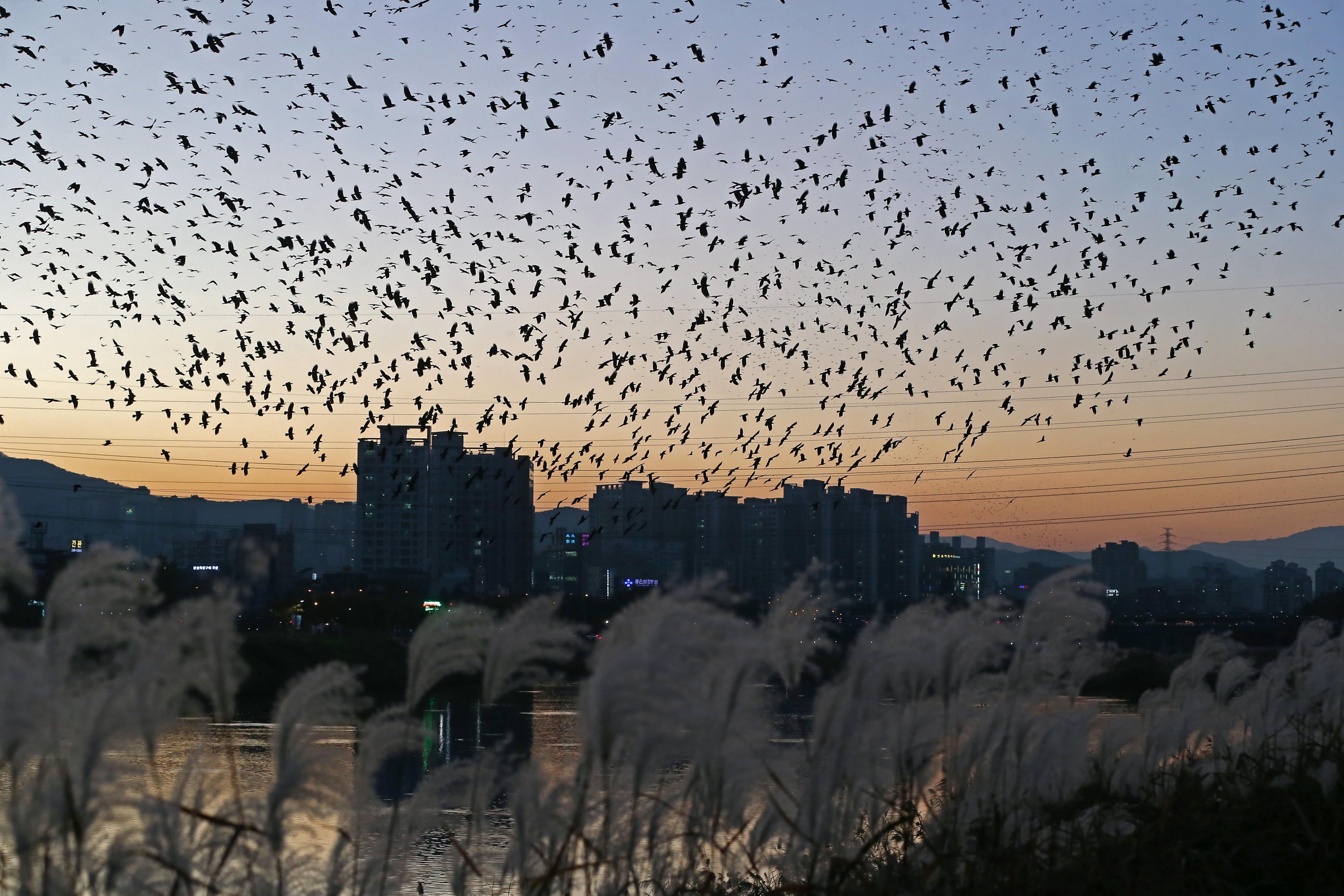 Un esbart de corbs sobrevola el riu Taehwa, a Corea del Sud. /YONHAP
