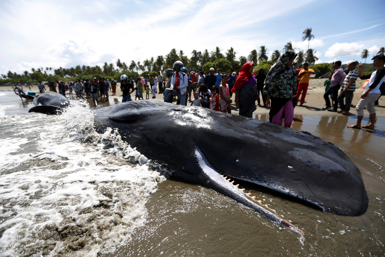 Rescaten sis catxalots encallats a Indonèsia, però moren altres quatre. /HOTLI SIMANJUNTAK