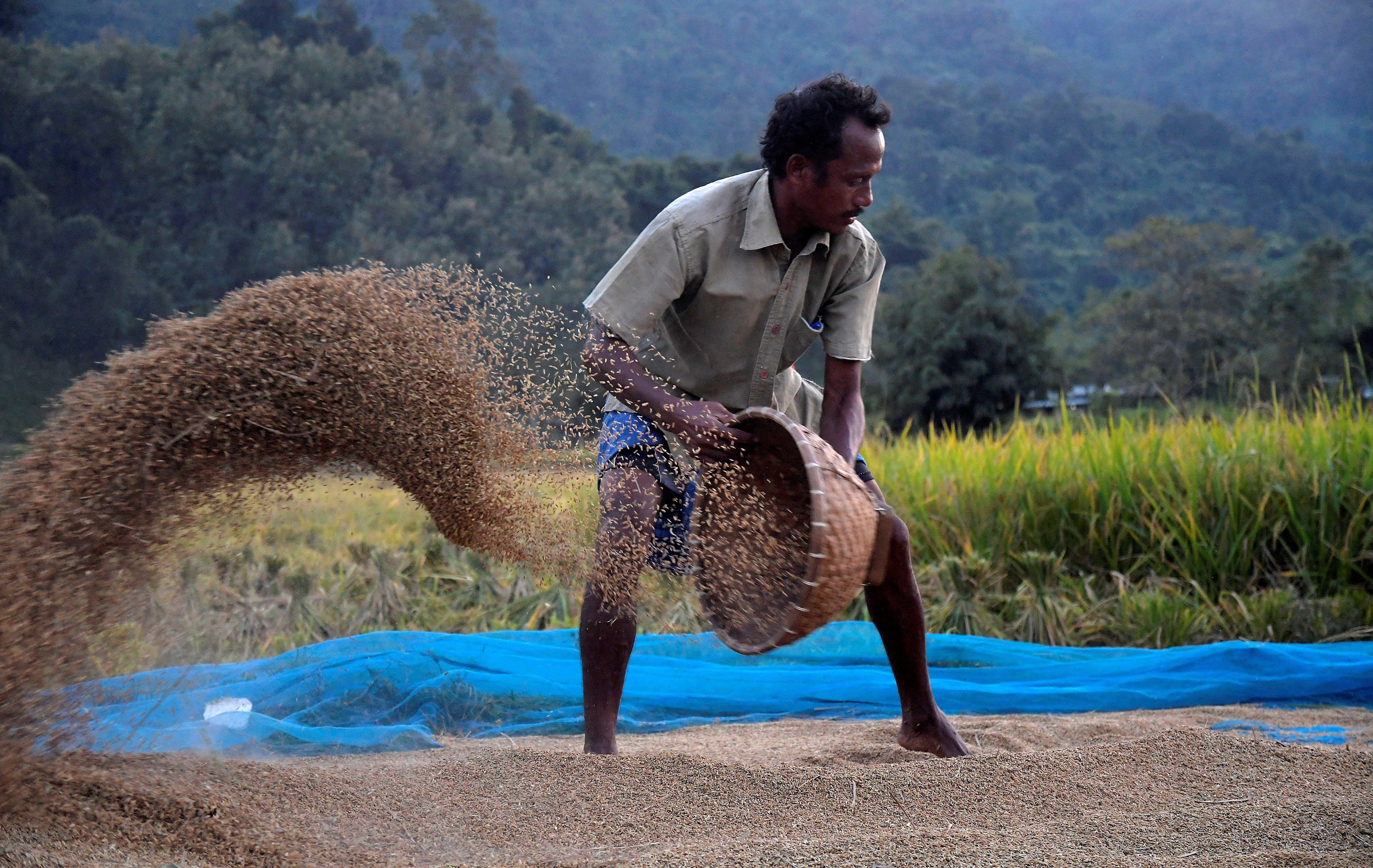 Un agricultor recol·lecta arròs a Kamrup, a l'estat d'Assam (Índia). Aquest any han augmentat els incidents amb elefants salvatges, que emigren a zones poblades a causa de l'escassetat d'aliments i la invasió il·legal d'àrees forestals protegides. /STR