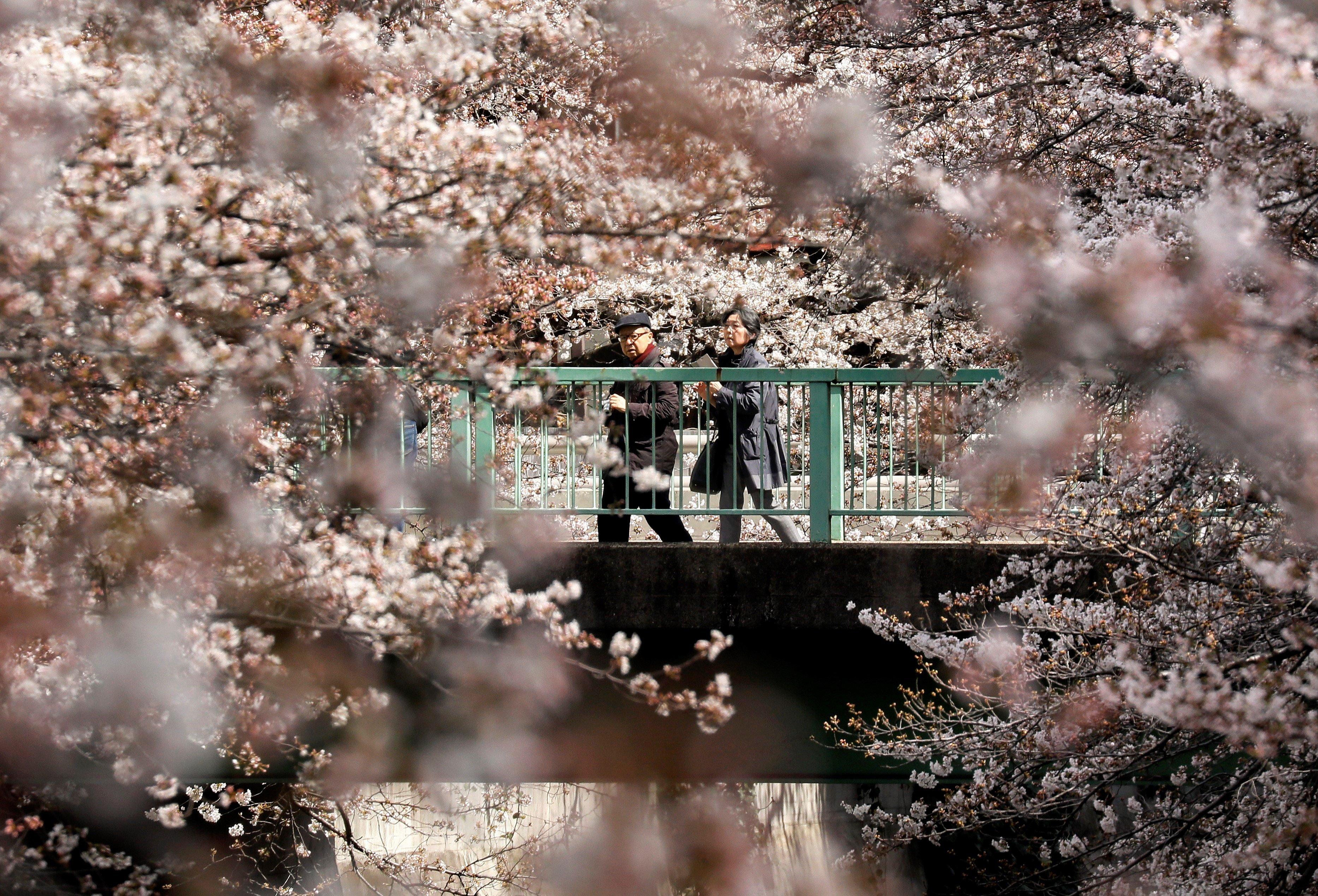 Les altes temperatures, amb 4,4 graus més de mitjana per a aquesta època de l'any, han accelerat la floració dels cirerers a Tòquio. /KIMIMASA MAYAMA