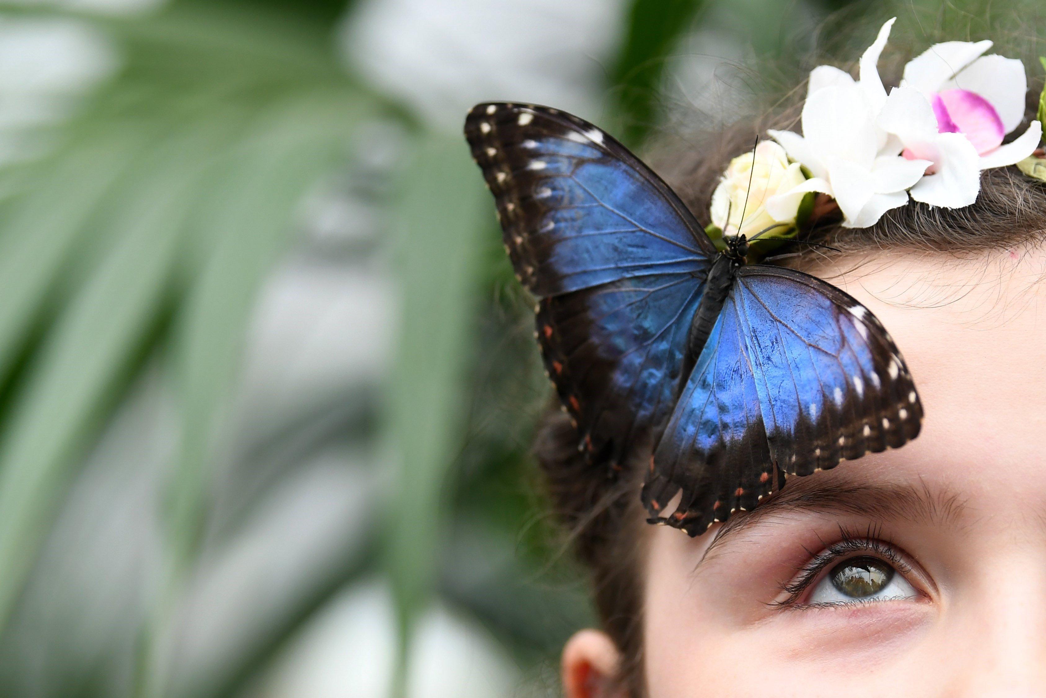 Una papallona reposa sobre el cap de Freja Gordon, de 9 anys, a l'Exposició de Papallones del Museu d'Història Natural de Londres (Regne Unit). /NEIL HALL