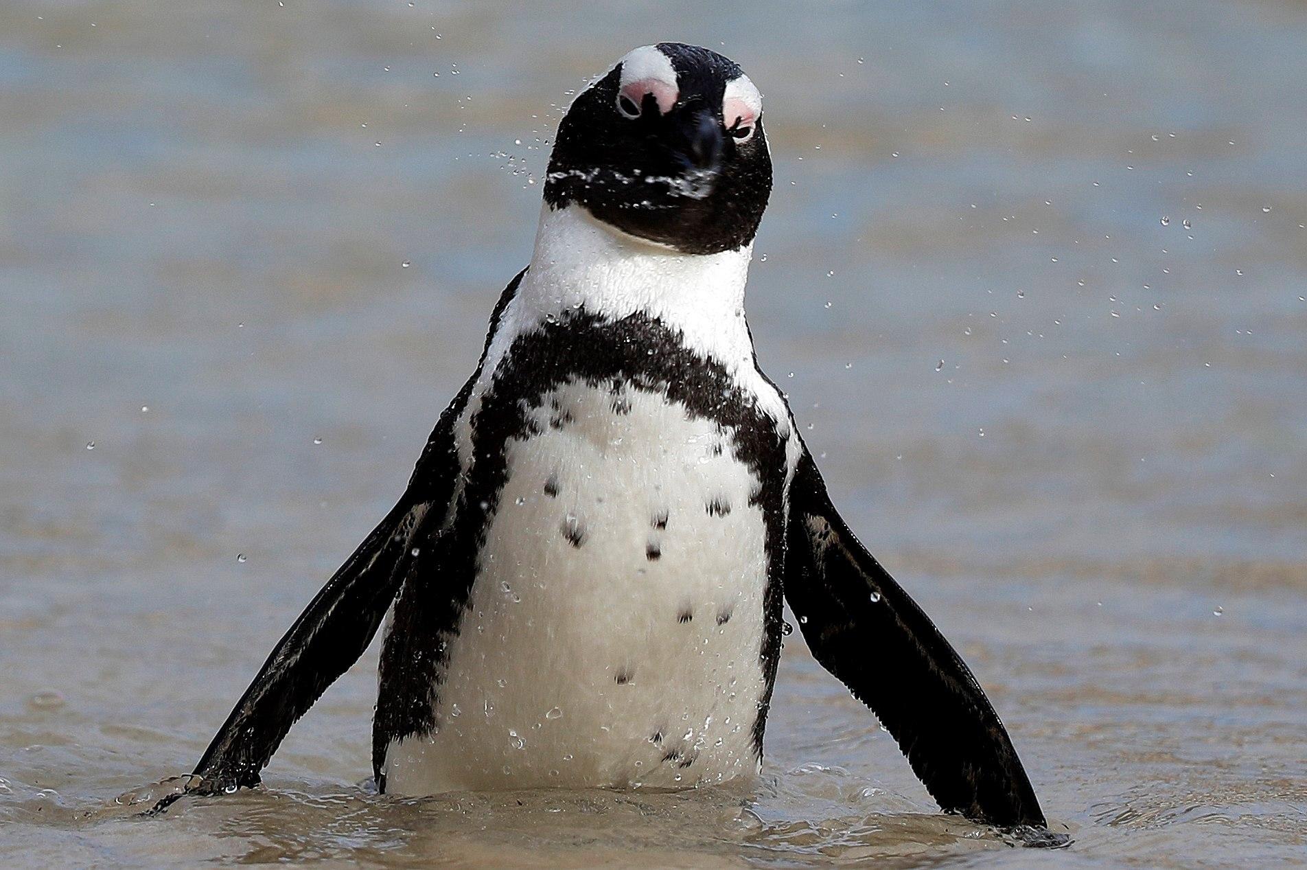 Un pingüí neda a la platja Boulders a Ciutat del Cap (Sud-àfrica). El govern local ha registrat la mort anormal de 18 pingüins. Algunes han estat causades per la grip aviària. El pingüí africà està en la llista d'espècies en perill d'extinció. /NIC BOTHMA