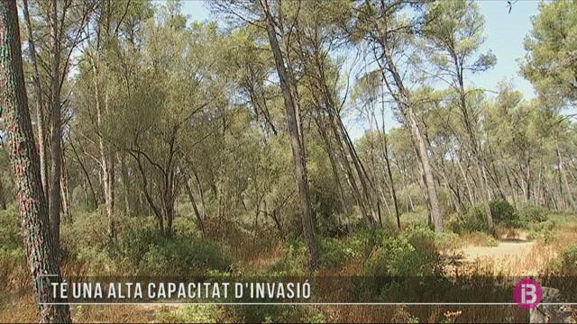 Una+esp%C3%A8cie+d%26apos%3Bescarabat+invasora+detectada+per+primer+pic+a+Mallorca+i+a+Espanya