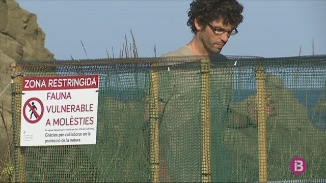 Neixen+nou+tortugues+del+ous+trobats+a+la+platja+de+Punta+Prima+a+mitjans+juny