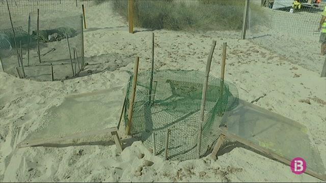 Els+79+ous+de+tortuga+marina+que+romanen+al+Parc+Natural+de+ses+Salines+estan+a+punt+de+descloure