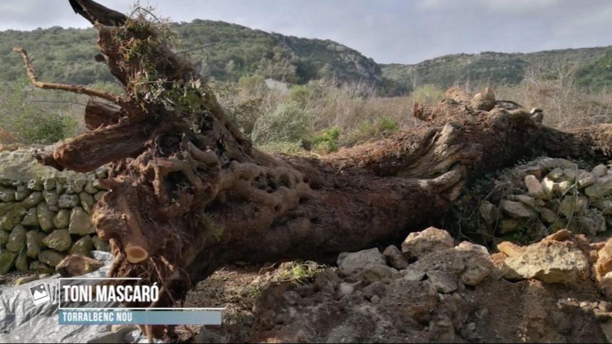 El+cap+de+fibl%C3%B3+de+Menorca+arrabassa+la+mata+de+Torralbenc+Nou%2C+la+m%C3%A9s+monumental+de+totes+les+Illes
