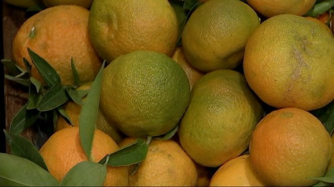 S%C3%B3ller+recull+les+primeres+taronges+i+clementines+d%27enguany
