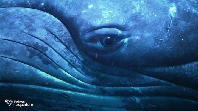 Les+balenes+geperudes+arriben+al+Palma+Aquarium