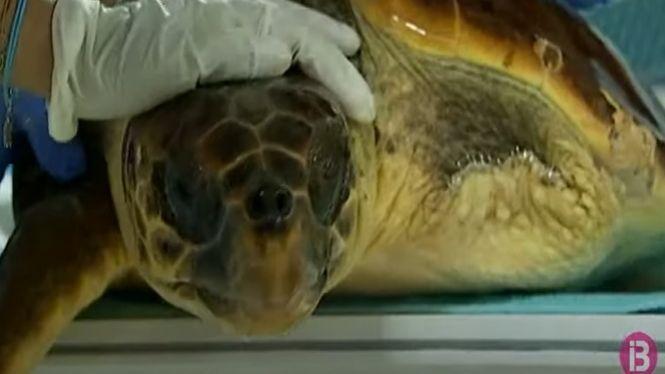R%C3%A8cord+de+tortugues+marines+rescatades+a+la+mar+balear%3A+72+en+8+mesos