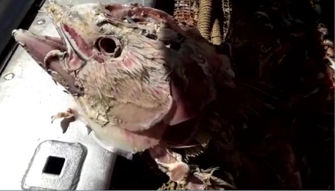 Apareixen+tonyines+mortes+a+les+xarxes+d%27arrossegament+de+les+barques+Piti%C3%BCses