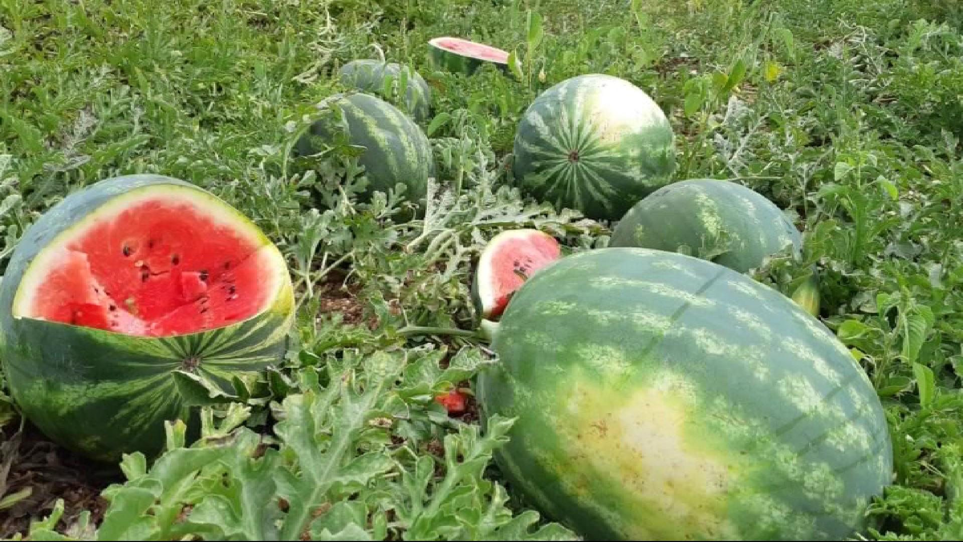 Mala+temporada+de+s%C3%ADndries+i+melons+per+la+caiguda+de+les+vendes