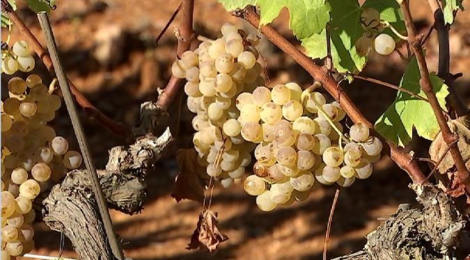 Arriba+el+temps+de+verema+a+les+vinyes+d%27Eivissa