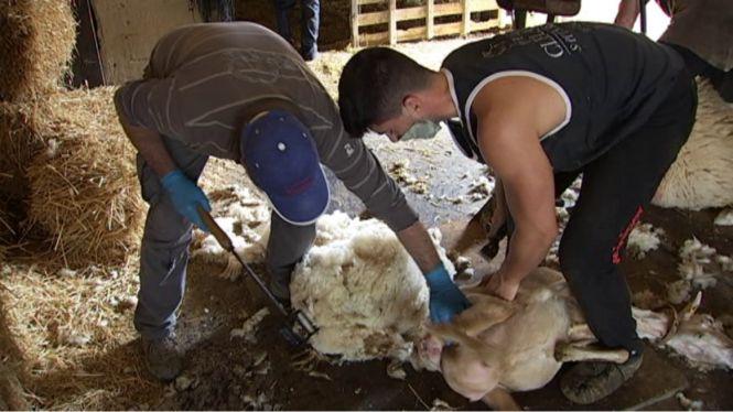 La+tosa+de+les+ovelles+comen%C3%A7a+condicionada+pel+coronavirus