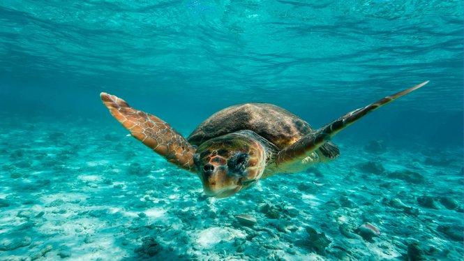 La+tortuga+babaua+ha+post+un+total+de+132+ous+a+la+platja+de+Punta+Prima