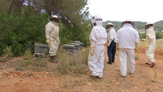 Arriben+a+Eivissa+m%C3%A9s+de+150.000+abelles+procedents+de+Mallorca