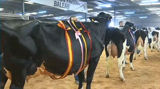 Talent+F%C3%A0tima%2C+la+vaca+Gran+Campiona+de+la+Fira+del+Camp+de+Ma%C3%B3%2C+t%C3%A9+9+anys+i+pesa+650+kilos
