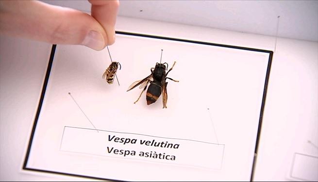 Com+podem+detectar+una+vespa+asi%C3%A0tica%3F