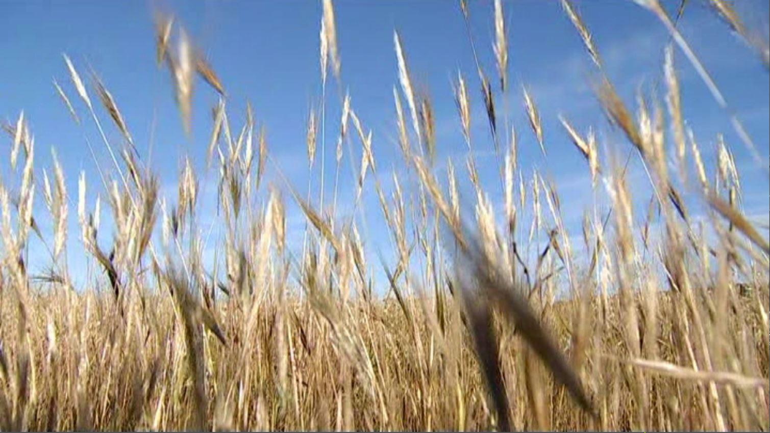 El+camp+arrossega+la+sequera+des+del+2019%3A+les+pastures%2C+els+cereals+i+les+lleguminoses+s%27han+redu%C3%AFt+fins+a+un+90%25