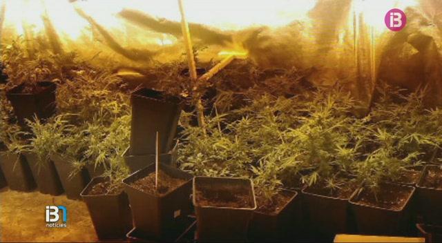 La+Policia+Nacional+ha+detengut+a+Palma+una+dona+que+cultivava+200+plantes+de+marihuana+a+casa+seva