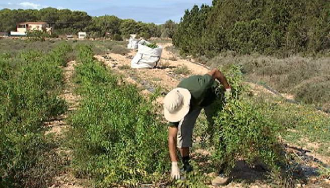 La+cooperativa+del+camp+de+Formentera+recull+el+cultiu+de+fr%C3%ADgola+i+herballu%C3%AFsa